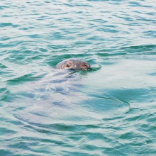 Seal_Island_boat_trip_on_Tiger_Lilly._Seal_in_St_Ives_Harbour-1