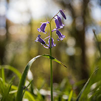 thumb-bluebells